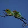 Bee-eater, Australian - P1110908