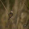 Cisticola, Golden-headed - P1120059