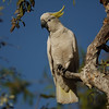Cockatoo, Sulphur-Crested - P1240015