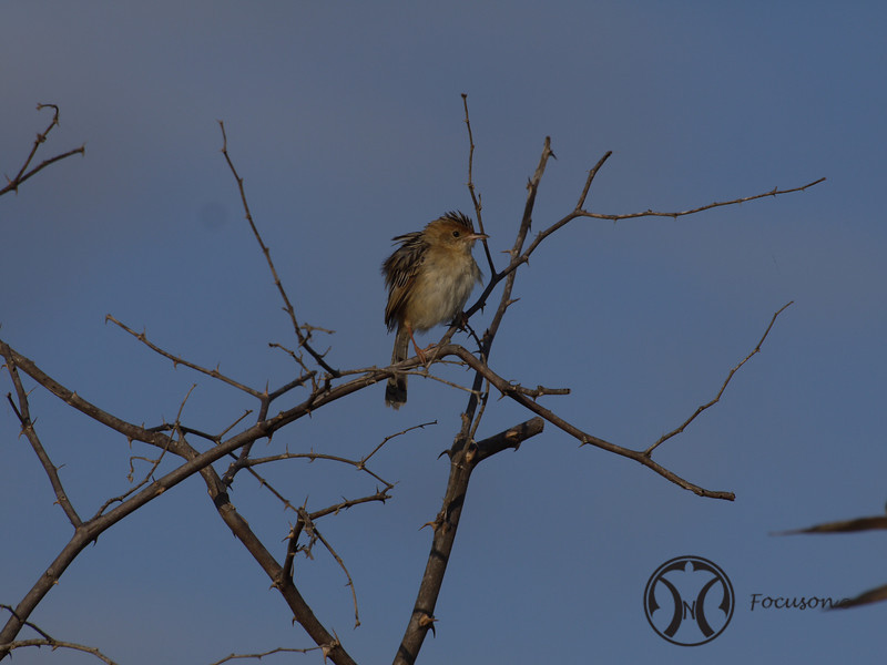 Cisticola, Golden-headed (1)