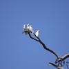 Cockatoo, Sulphur-crested