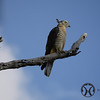 Pacific Baza or Crested Hawk <br /> <br /> Equipment:- Panasonic DMC G1 and  Panasonic 45-200mm lens
