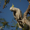 Cockatoo, Sulphur-Crested - P1240018