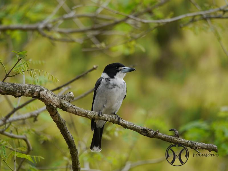 Butcherbird, Grey - P1000898