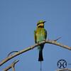 Bee-eater, Rainbow - P1120966