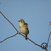 Cisticola, Golden-headed - P1120793