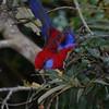Rosella, Crimson  (2)
