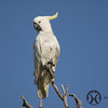 Cockatoo, Sulphur-crested - P1120574