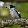Butcherbird, Grey - P1000916