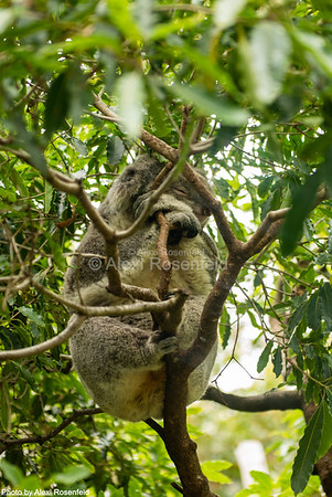 6. The koala is a marsupial, not a bear, and is native to Australia. Estimated that upwards of ½ billion of Australia's animals have been killed due to the bushfires.