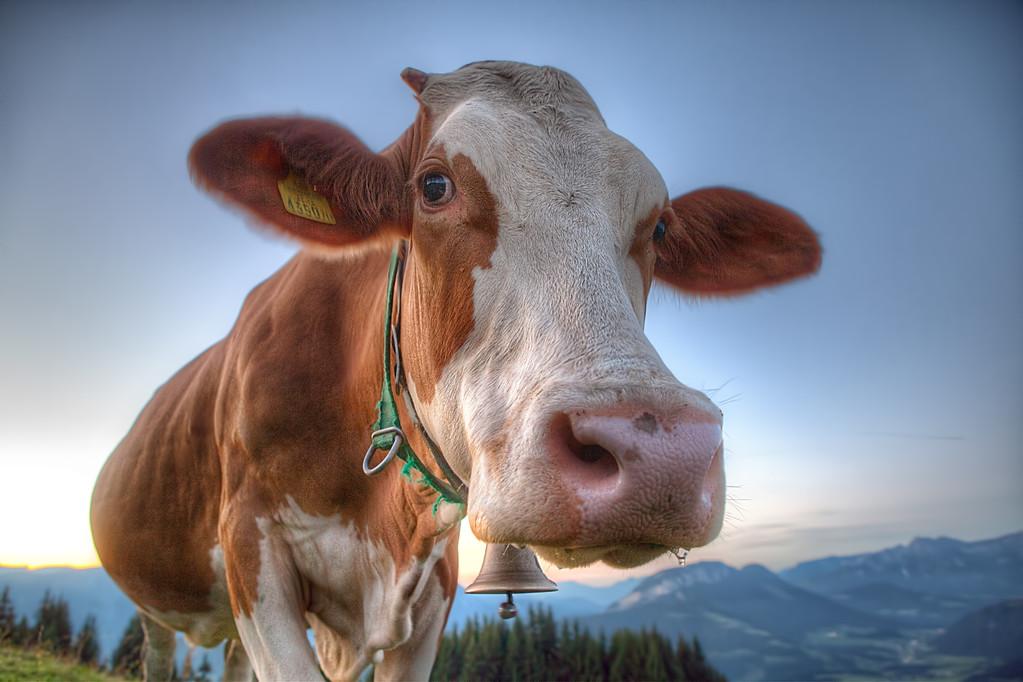 Austrian Cow
