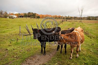 Cows - Route 302 - Barre,VT