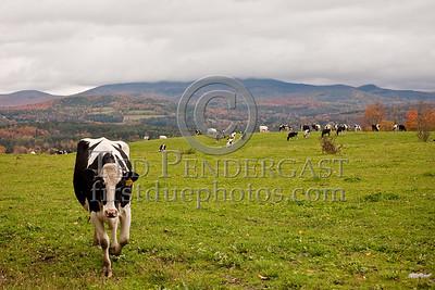 Hilltop Cows - Snow Hill Rd - East Montpelier, VT