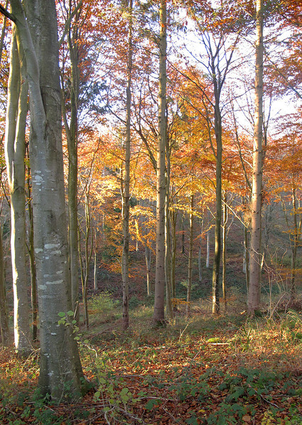 Beech trees in Ashmore Wood