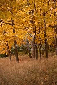 Trees off Lyman Street - Waltham,MA