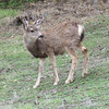 A mule deer we saw on our tour of Avalon.