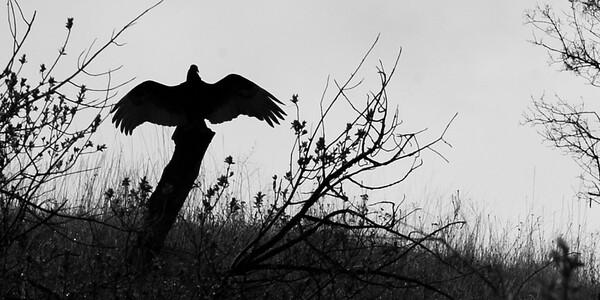 vulture b&W 1x2