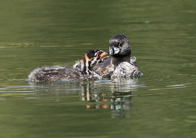 Pied-billed Grebe   Aviara 2012 07 22 (3 of 5).CR2