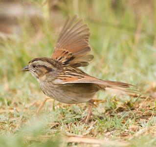 Swamp Sparrow  Aviara 2014 02 22-4.CR2