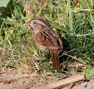 Swamp Sparrow  Aviara 2014 0112-1903.CR2