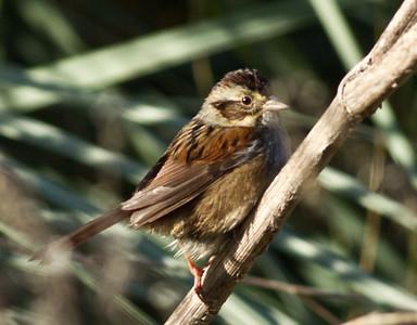 Swamp Sparrow Aviara 2013 12 22-1.CR2
