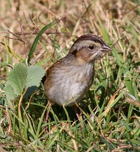 Swamp Sparrow  Aviara 2014 0112-1910.CR2