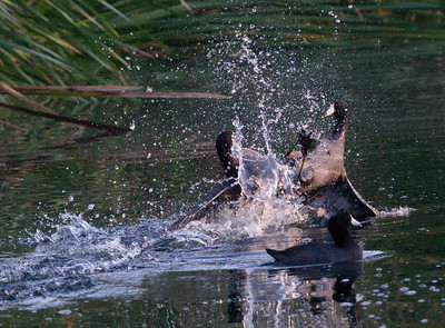 American Coot Aviara 2012 10 17 (5 of 5).CR2