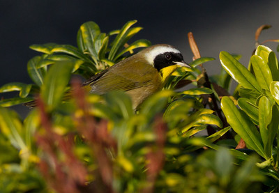 Common Yellowthroat  Aviara 2011 12 20 (1 of 1).CR2