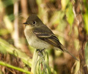 mystery  Flycatcher  Aviara 2012 09 29 (1 of 1).CR2-1.CR2