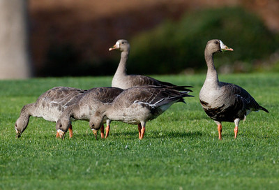Greater White-Fronted Goose   Aviara  2011 12 01 (5 of 7).CR2