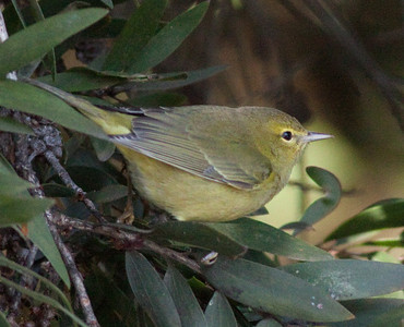 Orange-crowned Warbler  Aviara 2009 12 14 (2 of 2).CR2