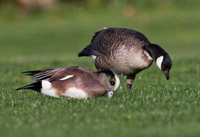 Cackling Goose American Wigeon  Aviara 2011 12 03 (2 of 2).CR2