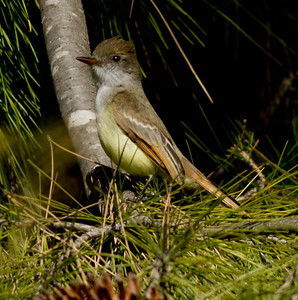 Dusky-capped Flycatcher  Aviara 2011 12 26 (3 of 7).CR2