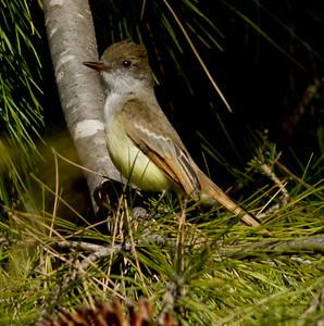 Dusky-capped Flycatcher  Aviara 2011 12 26 (3 of 7).CR2