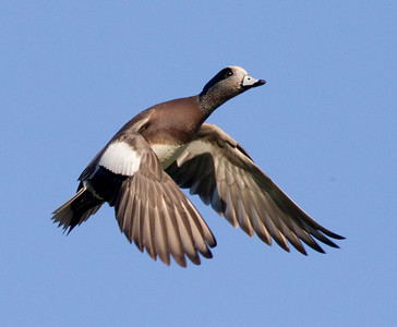 American Wigeon   Aviara 2011 12 09 (1 of 2).CR2