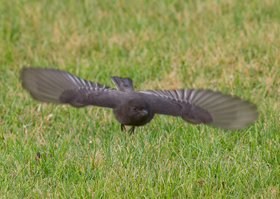 Black Phoebe  Aviara 2011 12 13 (1 of 1).CR2
