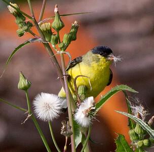 Lesser Goldfinch  Aviara 2011 12 11 (1 of 5).CR2