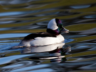 Bufflehead Aviara Carlsbad 2010 01 04-2.CR2