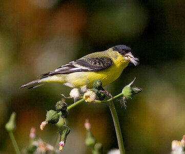 Lesser Goldfinch  Aviara 2011 12 11 (3 of 5).CR2