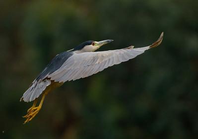 Black-crowned Night-Heron  Aviara 2011 12 20 (2 of 5).CR2