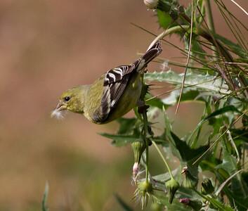 Lesser Goldfinch  Aviara 2011 12 11 (2 of 5).CR2