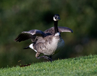 Cackling Goose   Aviara  2011 12 01 (1 of 1).CR2