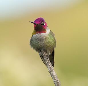 Anna`s Hummingbird Aviara 2011 12 20 (2 of 4).CR2