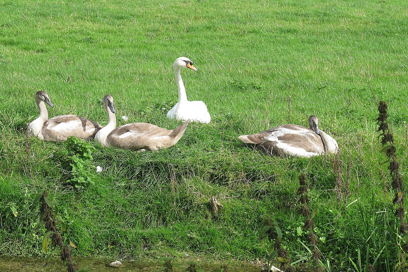Swans watch with interest.
