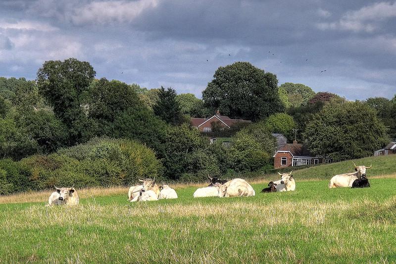 Splendid horns - rare breed White Park cattle take their ease.