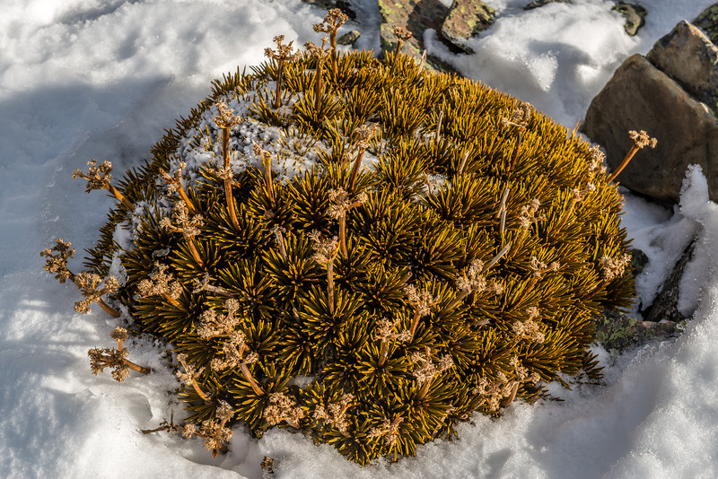 Dobsons speargrass (Aciphylla dobsonii). Awakino ski field, St Marys Range, east Otago