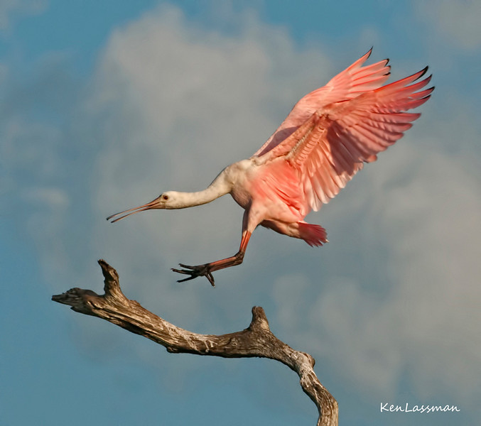 "Ooops!  I Came In Too Fast<br /> This image of a juvenile Roseate Spoonbill appeared in the Third Tier of the NANPA (North American Nature Photography Association) publication  ""EXPRESSIONS 2012"". Each year NANPA selects the Top 250 images from over 2000 submissions and presents them in three tiers-the Top Ten, Tier Two containing 90 images and Tier Three containing 150 images.  This was my very first entry into a photography competition, which makes this personally very special. <br /> This image was also selected in the TOP 100 photos for 2012 by the Audubon Society<br /> T"