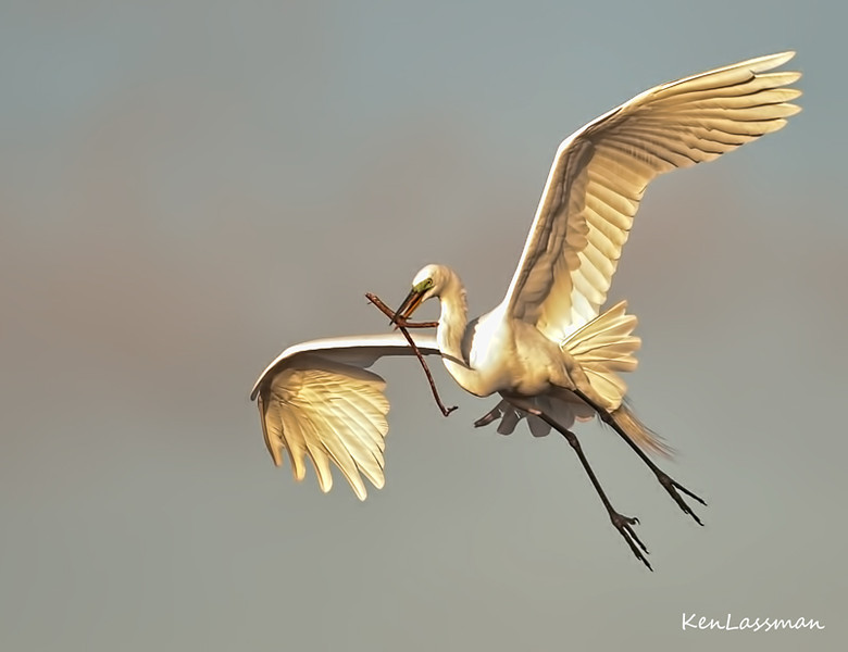 Great Egret with Nesting Material<br /> Honorable Mention-Boynton Beach Camera Club, Digital Color Category