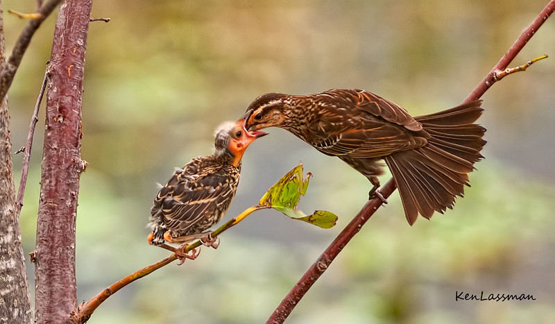"""Female Red Winged Blackbird feeding her chick- this image placed in Tier II of the North American Nature Photographer's Association (NANPA) photo competition for 2012<br /> This image was also selected amongst the 2012 Top 250 by the Denver Audubon Society """"Share the View"""" Photo Competition"""