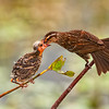 "Female Red Winged Blackbird feeding her chick- this image placed in Tier II of the North American Nature Photographer's Association (NANPA) photo competition for 2012<br /> This image was also selected amongst the 2012 Top 250 by the Denver Audubon Society ""Share the View"" Photo Competition"